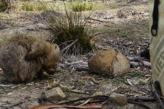 tasmanien 177 copyright piotr nogal