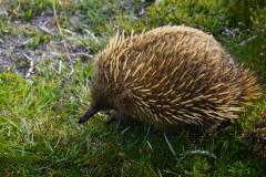 tasmanien 342 copyright piotr nogal
