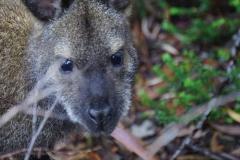 tasmanien 426 copyright piotr nogal